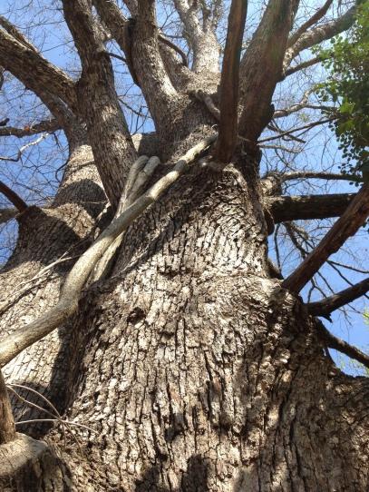 2013-10 Sacred Oak 1824