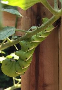 Tomato Caterpillar