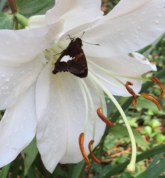 Moth in Casa Blanca