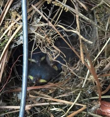 Wren Nestlings 2