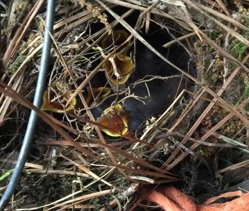 Wren Nestlings