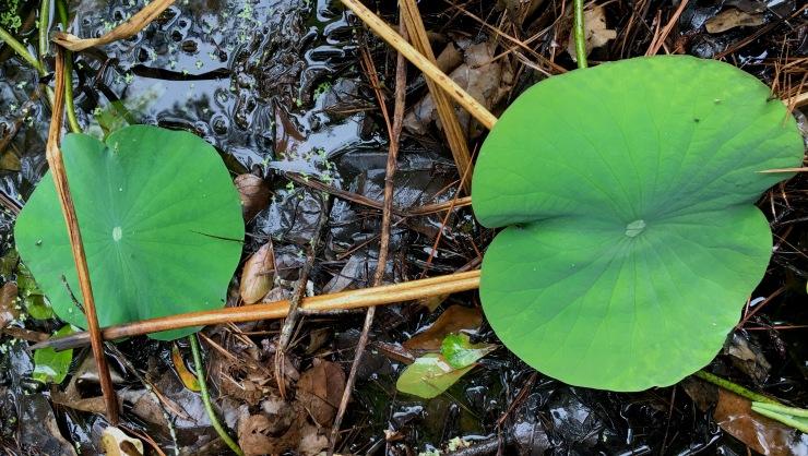 Lotus muck
